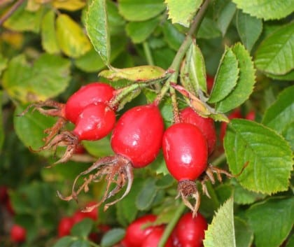 rosehips_can_be_used_to_make_drinks_and_preserves__1423739146